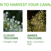 When to harvest your cannabis: microgrowery