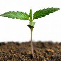 How to Germinate Marijuana Seeds — Blog