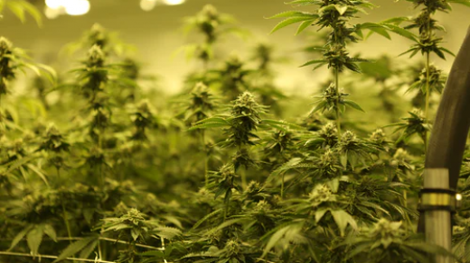 How To Prune Marijuana Plants: 7 Tips for Trimming Cannabis | The Weed Blog