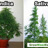 LST (Low Stress Training) - How to Grow a Short Sativa or Haze