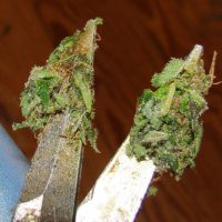 What is Hash? Best Ways to Make Hashish Yourself | Dutch Passion