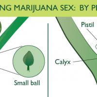 Sex Determination: After Planting Marijuana Seeds - Spliffseeds