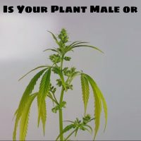 How to Identify Female and Male Marijuana Plants: 9 Steps