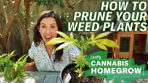 Pinching Off & Pruning Plants | High Times