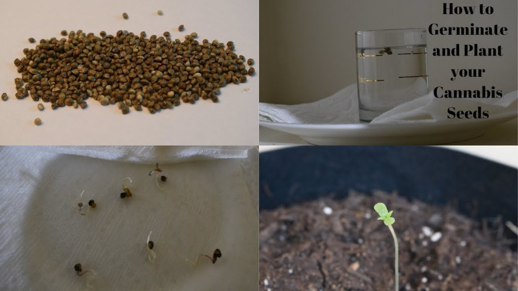 How to Plant Cannabis Seeds Indoors: 15 Steps (with Pictures)