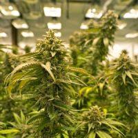 The History of Marijuana: Learn About The Origin of Marijuana