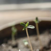 How to Grow Weed: Germinating Cannabis Seeds