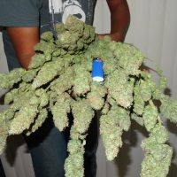 Harvesting And Curing Cannabis – Drying And Curing Weed | The Complete  Guide To Better Buds