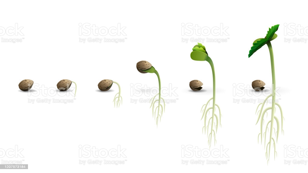 Germinating Marijuana Seeds Successfully - Spliffseeds