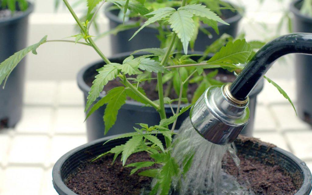 How to Water & Flush Marijuana Plants   Leafly