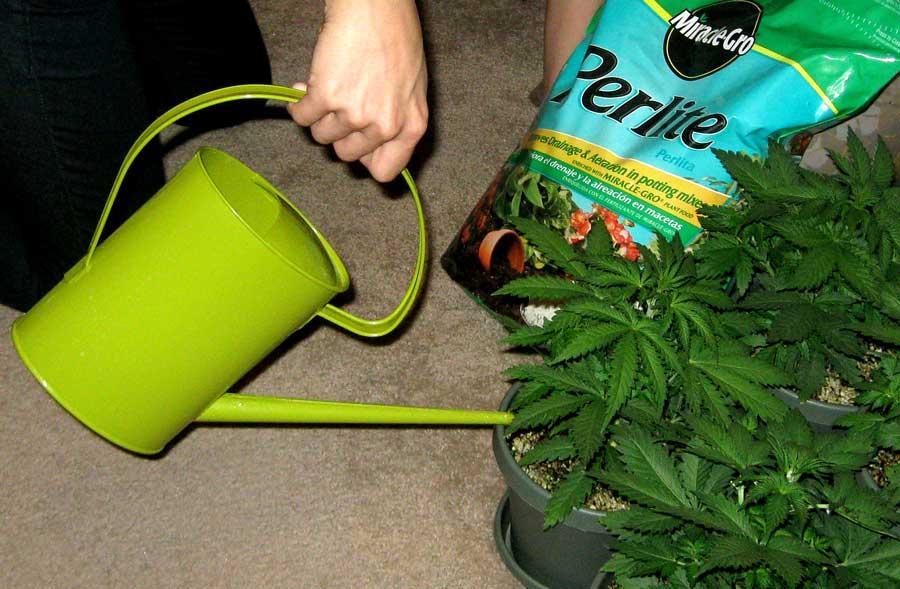 How Often Do I Water Marijuana Plants?   Grow Weed Easy
