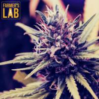 California Cannabis (Marijuana) Seeds - Buy Cannabis Seeds For Sale